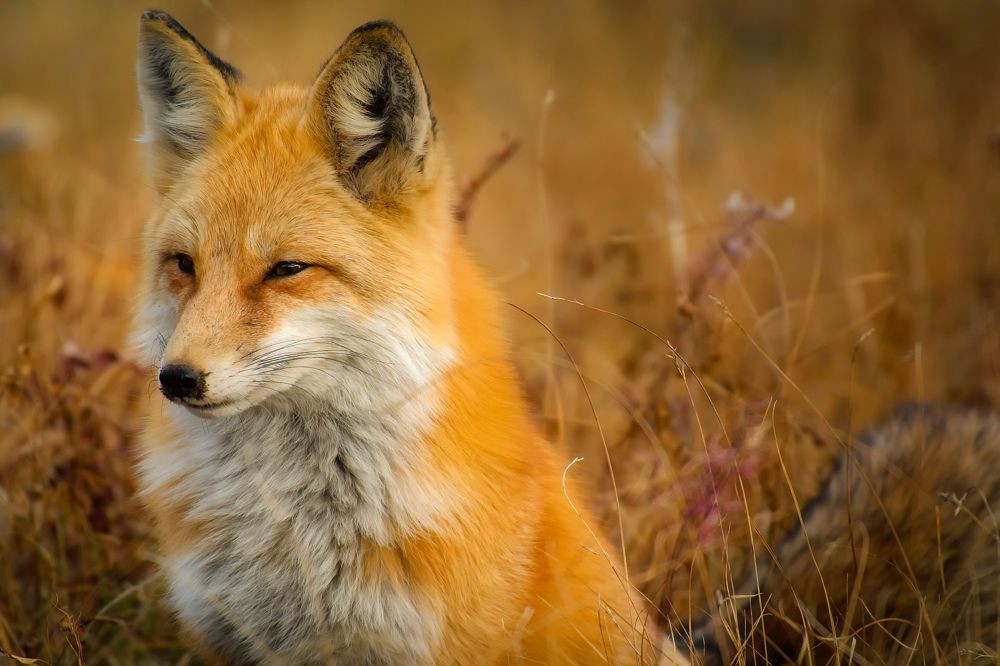sacred fire, divine, blessings, fox